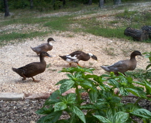 2012 8-26 Ducks (5)
